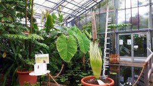 Titanenwurz: Die größte Blume der Welt