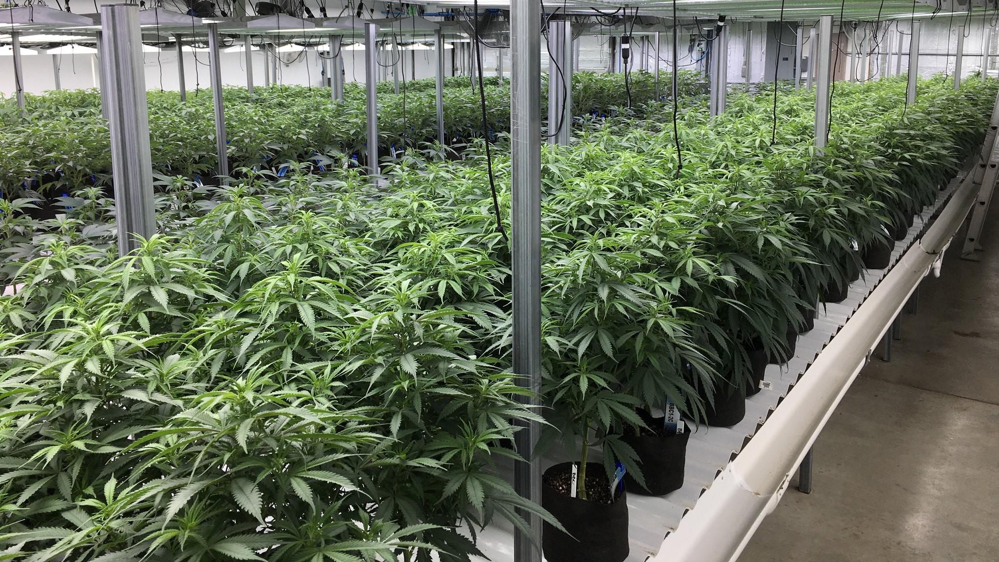 Jetzt wird auch in Deutschland Cannabis zu medizinischen Zwecken angebaut